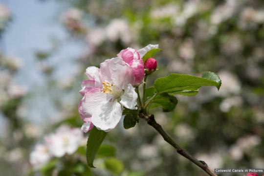 Apple blossom at River Churn aqueduct (site of)