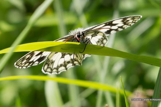 Marbled White butterfly (Daneway)