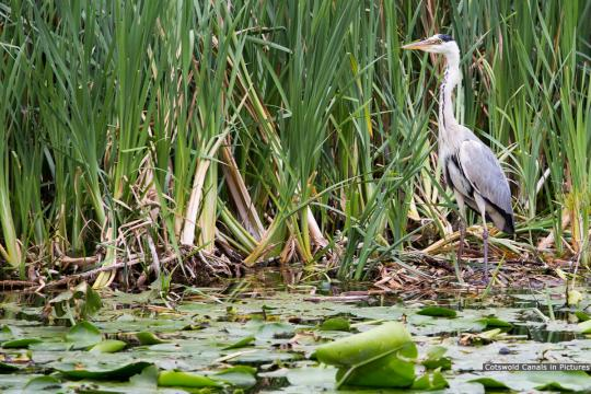 Heron fishing at The Ocean near St Cyr's Church